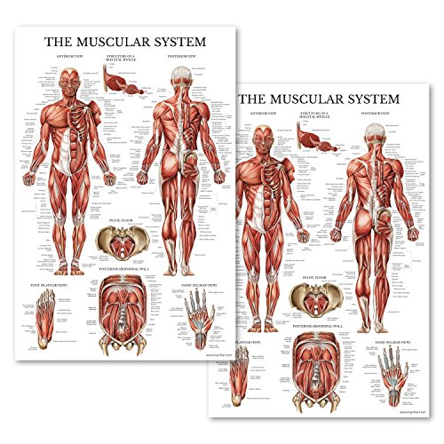 - Set of Two Muscular System Anatomical Posters - LAMINATED - Muscle Anatomy Charts - 2 Poster Set (18 x 27)