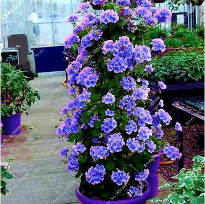 5 PCS Genuine Geranium Seeds Bonsai Pelargonium Peltatum Perennial Garden Flower