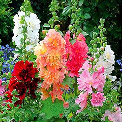 Amazon Garden Perennial Flowers Lepines Sales Big Sale20pcs