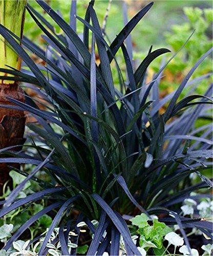 Ophiopogon planiscapus Nigrescens Black Ornamental Grass Ophiopogon nigra