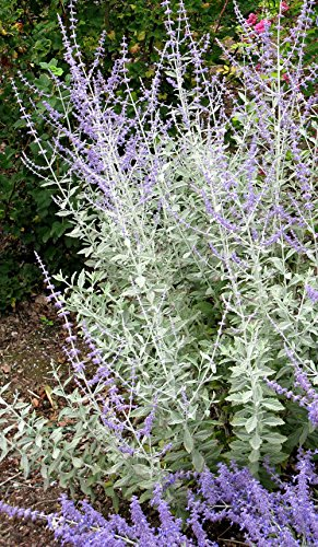 Russian sage blue