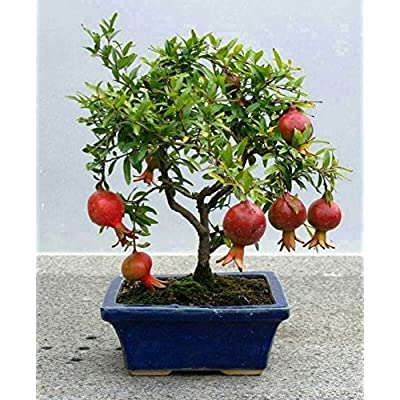 Punica granatum Nana DWARF POMEGRANATE TREE Seeds! : Garden & Outdoor