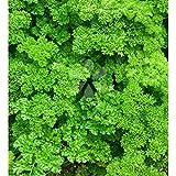 Parsley Seeds - Certified Organic Non-Bitter Herbs [SpeedSeeds]