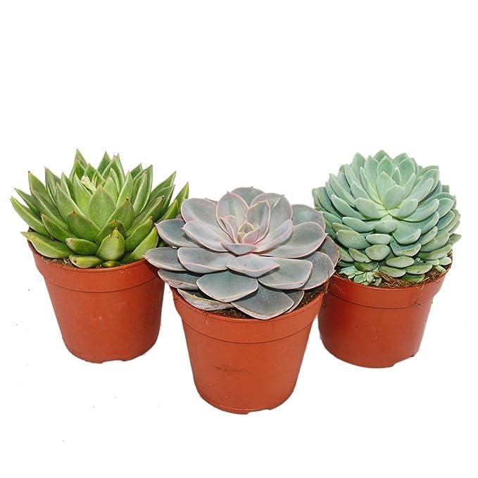Zimmerpflanzen Sonnenfenster exotenherz 3er set echeveria 3 verschiedene pflanzen im 12 cm topf