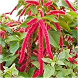 Package of 1,500 Seeds, Love Lies Bleeding (Amaranthus caudatus) Open Pollinated Seeds By Seed Needs