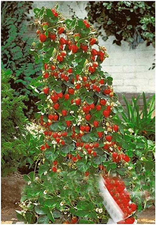 Exotic Plants Fresa Escalada Gigante roja - 30 Semillas: Amazon.es ...
