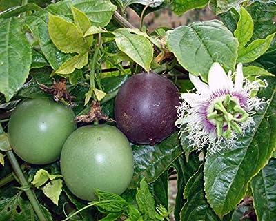 Passiflora 'Possum Purple' - Edible Purple Passion Flower Fruit Vine - Live Plant