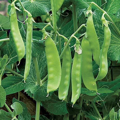 Oregon Sugar Pod II Snow Pea Seeds, 50+ Premium Heirloom Seeds, Garden Pea Seeds, (Isla's Garden Seeds), Non GMO, 90% Germination, Highest Quality Seeds, 100% Pure