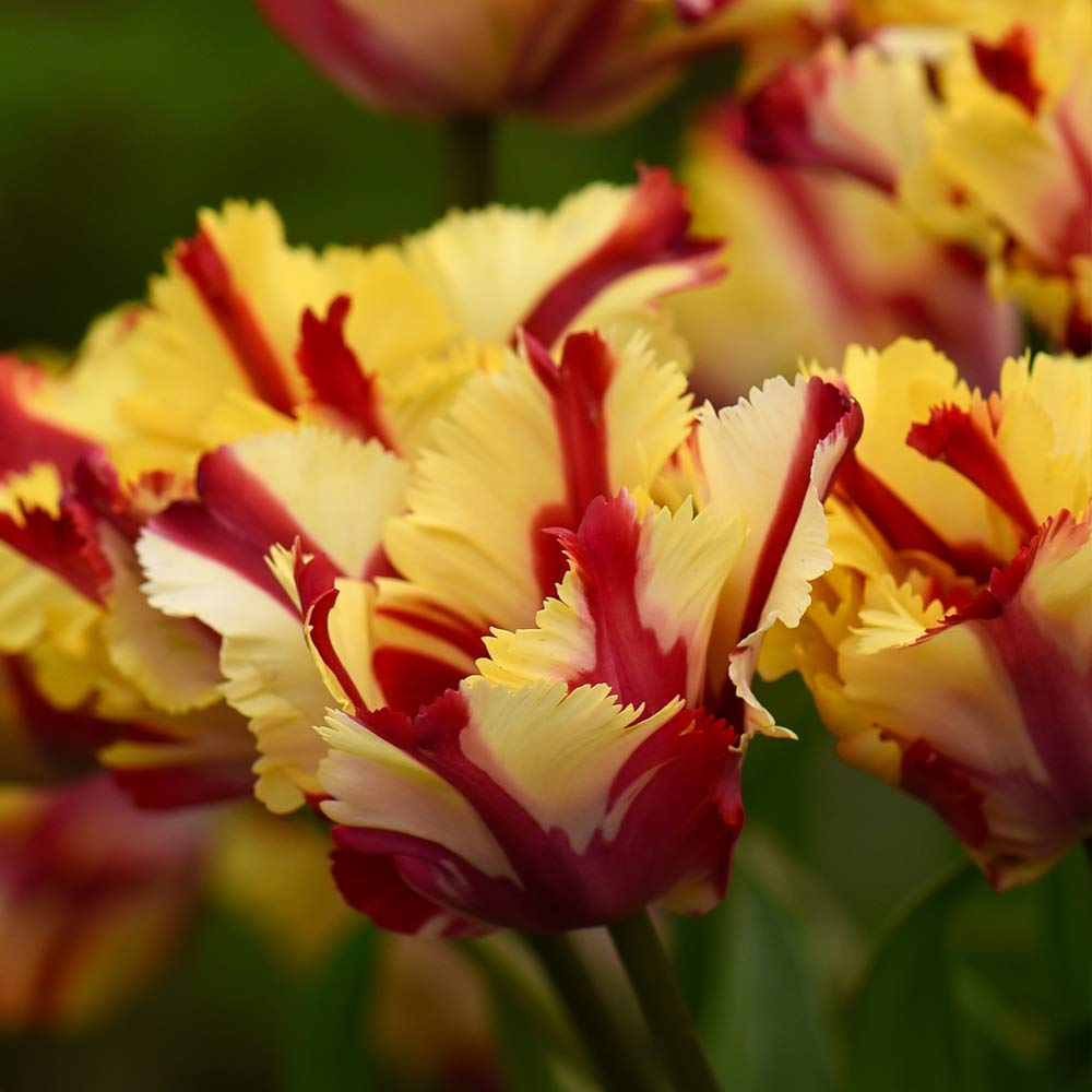 Exotic Looking Tulip Plants Yellow and Red Flame Effect Blooms, Hardy Bulb Plant Guaranteed First Year Flowering, 16 x Tulip Flaming Parrot Bulbs by Thompson and Morgan THOMPSON & MORGAN