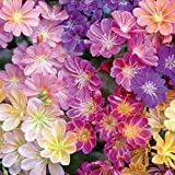 20 LEWISIA cotyledon Seeds'Rainbow'Mix ,Excellent in containers, hardy perennial