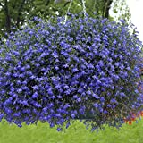 Outsidepride Blue Carpet Lobelia Plant Flower Seeds - 5000 Seeds