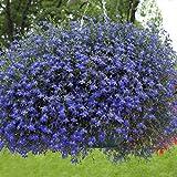 Outsidepride Blue Carpet Lobelia Plant Flower Seeds - 5000 Seeds
