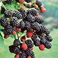 HeirloomSupplySuccess 25 Heirloom Thornless Blackberry Seeds