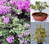 Bougainvillea Glabra 'Sanderiana Variegata' Trellis, Bonsai! 4 Fresh Cuttings!