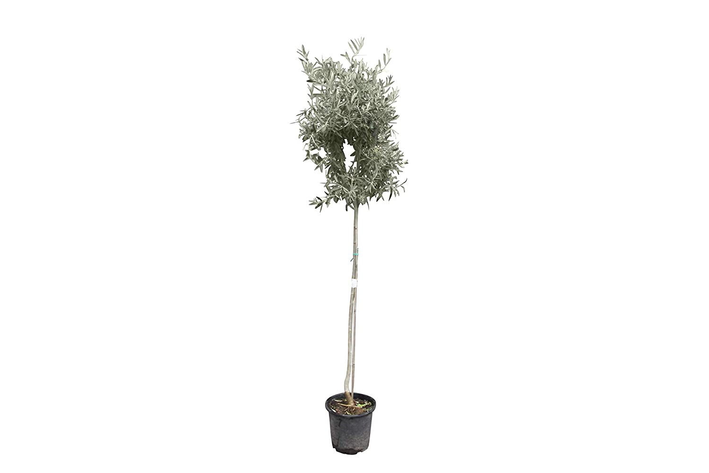 Garten- & Balkonpflanzen Obst Hochstmmiger Olivenbaum 170cm hoch ...