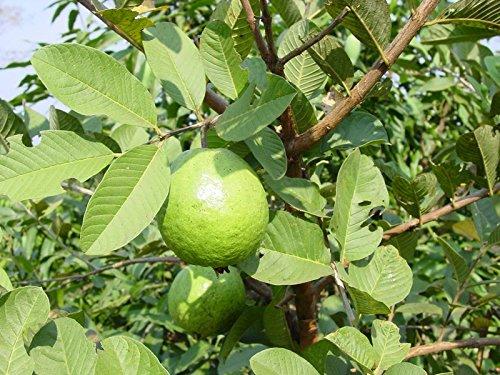 9EzTropical - Tropical Guava White Flesh - 2 to 3 Feet Tall - Ship in 1 Gal Pot ()