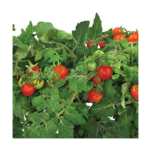 Miracle-Gro-AeroGarden-Red-Heirloom-Cherry-Tomato-Seed-Pod-Kit