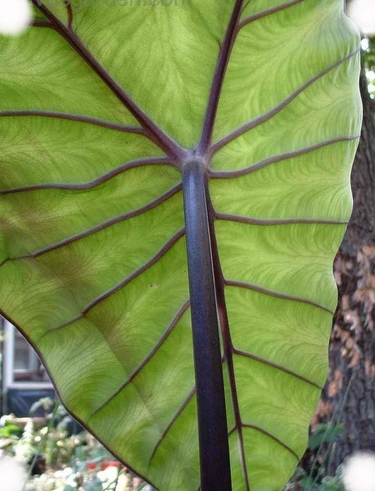 Amazon Com Fontanesii Colocasia Elephant Ear Taro 4