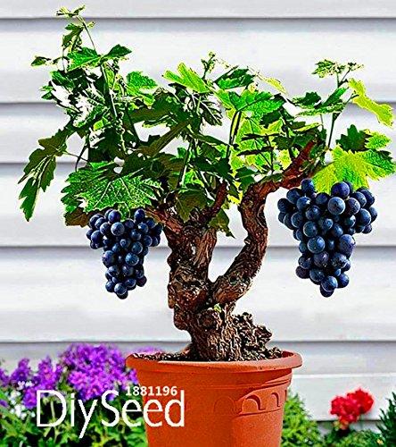 New Arrival!Miniature Grape Vine Seeds, PATIO SYRAH, Vitis Vinifera, Houseplant, 50 PCS/Pack, Fruit bonsai seeds,#EG0W1C