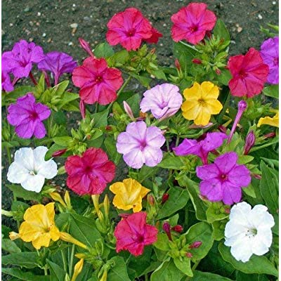Non GMO Four O'Clock Mix Flower Seeds Mirabilis Jalapa (1/4 Lb) 1, 500 Seeds : Garden & Outdoor