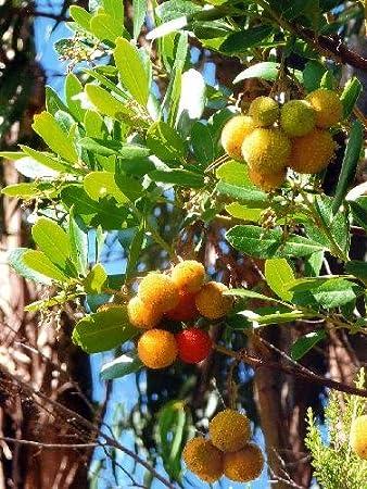 TROPICA - Madroño (Arbutus unedo) - 100 semillas- Mediterráneo