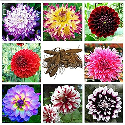 Amazon new mixed 8 types of dahlia perennial flowers 50 new mixed 8 types of dahlia perennial flowers 50 seeds mightylinksfo