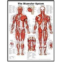 Realista cartel anatómica para mostrar una gráfica