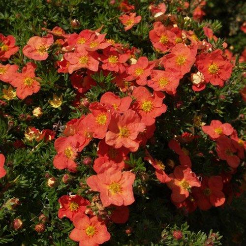 1 X POTENTILLA 'RED ROBIN' DECIDUOUS SHRUB HARDY GARDEN PLANT IN POT GDUK