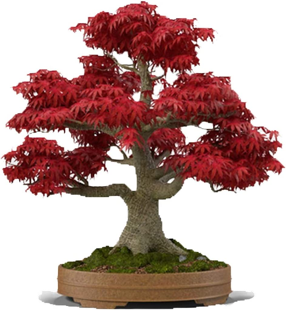 Amazon Com Mabes Warehouse Japanese Red Maple Bonsai Tree 20