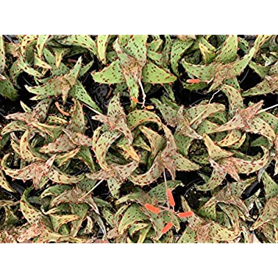 "AchmadAnam - Live Plant - 3.5"" Aloe Castilloniae Rare Plant. E12 : Garden & Outdoor"