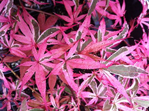 Shirazz Japanese Maple - Cream and Pink Variegation 3 - Year Live Plant
