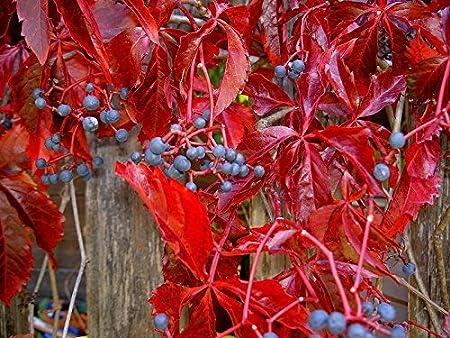 Virginia Creeper Seeds Parthenocissus quinquefolia