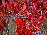 Virginia Creeper Vine, Parthenocissus Quinquefolia, 20 Seeds