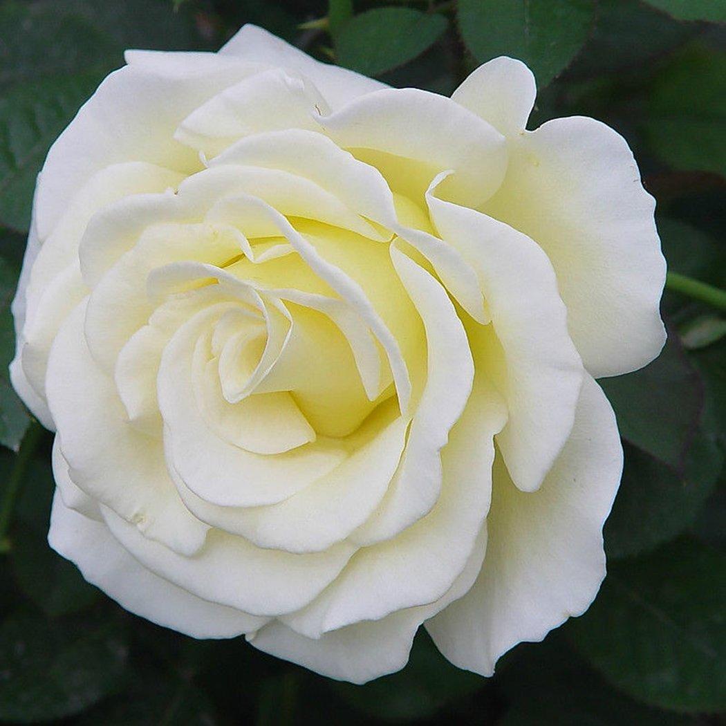 Edited Neue schöne entzückende Blume wohlriechende Blüte weiße Rosen Samen Bonsai Rose Rosensamen Dekorationen Bonsai, 20 Stück