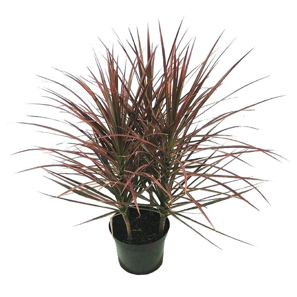 AMERICAN PLANT EXCHANGE Dracena Marginata Madagascar Dragon Tree Indoor/Outdoor Live, 1 Gallon, Cleans Air of Toxins!