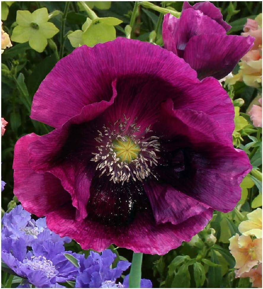 David's Garden Seeds Flower Poppy Lauren's Grape 7439 (Purple) 100 Non-GMO, Open Pollinated Seeds