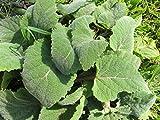 """Clary sage (Salvia sclarea) plant 4"""" pot"""