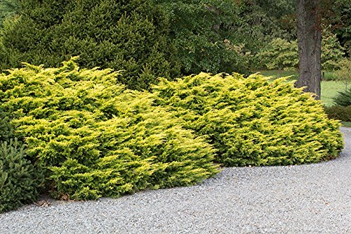 Saybrook Gold Juniper Qty 30 Live Plants Groundcover by Florida Foliage (Image #1)