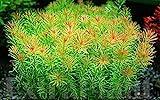 Hot Sale! Rotala Wallichii Freshwater Live Aquarium Plants Whorly Moss Bunch