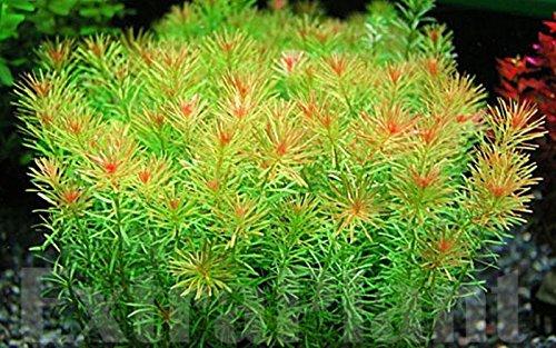 Hot Sale! Rotala Wallichii Freshwater Live Aquarium Plants Whorly Moss - Sale For Kickboard