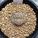 多肉植物:リトープス ベリーレッド*幅2cm