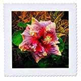 3dRose Danita Delimont - Flowers - Hibiscus flower, Kona Coast, The Big Island, Hawaii, Usa - 16x16 inch quilt square (qs_259241_6)