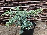 3 Year PLANT of Cedrus Atlantica Sapphire Nymph