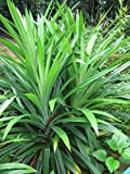 Pandanus Amaryllifolius (Bai Toey) Plant
