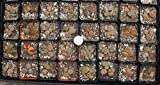 Jiimz 3 Lithops Living Stone Mimicry Potted Plants