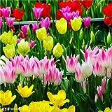 Las semillas de la nueva llegada 1000 12 Color de mezcla de tulipán Semillas de mal olor perenne de flores de jardín en Bonsai, Oferta 2 x 10 regalo de Rose