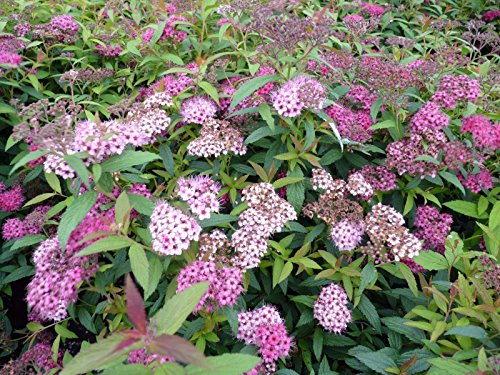 Little Princess Spirea - Established Perennial Rooted - 3 Plants in 3.5