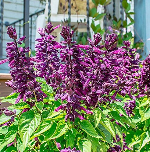 Salvia splendens 'Lighthouse purple' -South American native-10 (American Cottage Sage)