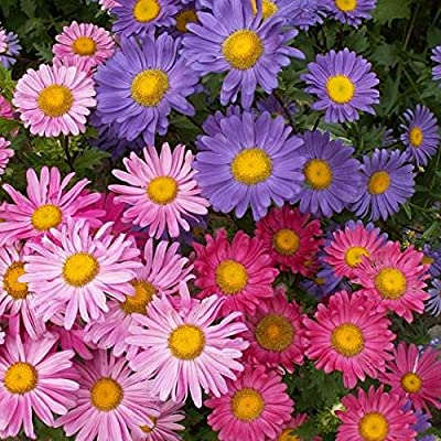 David's Garden Seeds Flower Aster China Single Mix SL9931 (Mulit) 500 Non-GMO, Open Pollinated Seeds : Garden & Outdoor