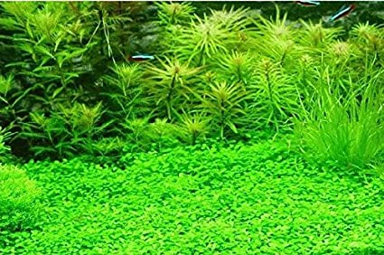 Futaba Aquarium Grass Seeds - 100 Pcs: Amazon in: Garden